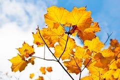 золотистый клен листьев стоковая фотография