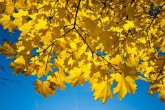 золотистый клен Стоковые Фото