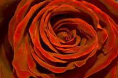 золотистый красный цвет поднял Стоковые Изображения
