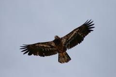 Золотистый орел летая Стоковое фото RF
