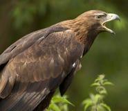 Золотистый орел - Шотландия Стоковые Фотографии RF