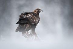 Золотистый орел Стоковые Изображения RF
