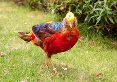 золотистый пытливый фазан Стоковая Фотография RF