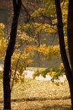 Золотистый строб Стоковые Фото