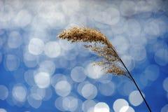 золотистый тростник стоковое изображение