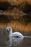 золотистый трубач заплывания лебедя отражений Стоковые Фото