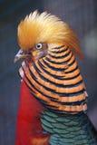 золотистый фазан Стоковое Изображение