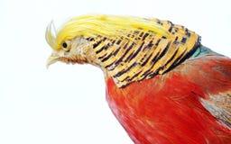 золотистый фазан Стоковые Фото