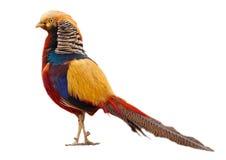 золотистый фазан Стоковое фото RF