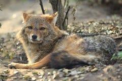 золотистый jackal стоковое изображение rf