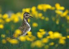золотистый plover Стоковые Изображения