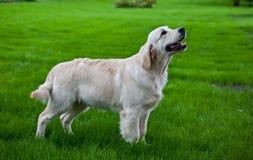 золотистый retriever зеленого цвета травы Стоковая Фотография