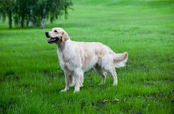 золотистый retriever зеленого цвета травы Стоковое Фото