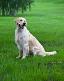 золотистый retriever зеленого цвета травы Стоковые Фото
