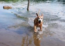 золотистый retriever озера Стоковая Фотография RF
