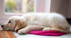 золотистый retriever щенка Стоковые Изображения