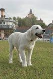 золотистый retriever щенка Стоковые Фото