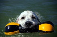 золотистый retriever щенка 4 Стоковая Фотография RF