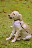 золотистый retriever s щенка Стоковое Изображение
