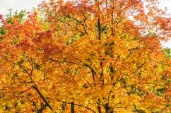 Золотое дерево Marple осени Стоковая Фотография
