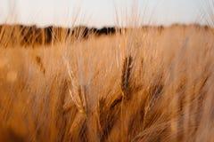 Золотое покрашенное пшеничное поле в заходе солнца выравнивая теплый свет Стоковое фото RF