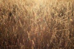 Золотое поле сухой травы с back-light солнца Стоковые Изображения RF