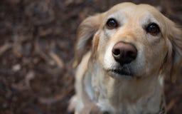 Золотое усаживание собаки стоковая фотография