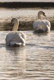 Золотое утро на орнаментальном пруде, общее Саутгемптона Стоковые Фотографии RF