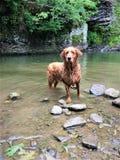 Золотое rottweiler после плавать водопад озера Стоковые Изображения RF