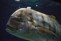 Золотое speciosus Gnathanodon рыб Trevally Стоковые Фотографии RF