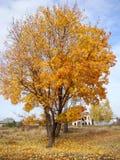 Золотой апельсин клена как осенний огонь Стоковая Фотография RF
