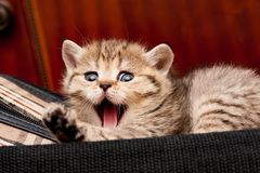 Золотой великобританский котенок лежа на сумке и зевках широко смешных стоковые фото
