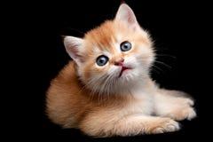 Золотой великобританский котенок на черной предпосылке стоковая фотография