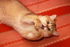 Золотой великобританский кот лежит вверх ногами на кресле и играх стоковые фото