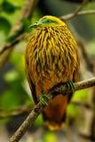 Золотой голубь сидя на дереве, остров Viti Levu, Фиджи Стоковое Фото