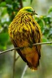Золотой голубь сидя на дереве, остров Viti Levu, Фиджи Стоковые Изображения RF