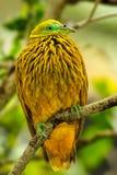 Золотой голубь сидя на дереве, остров Viti Levu, Фиджи Стоковая Фотография