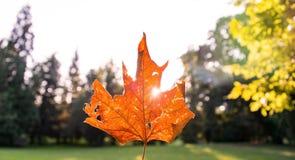 Золотой кленовый лист осени с солнечным светом светя на заднем плане стоковые фото