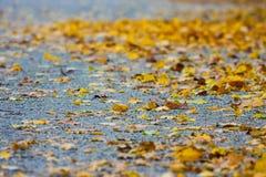 Золотой ковер листьев на асфальте Стоковое Фото