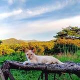 Золотой кот цвета отдыхая на деревянной скамье с горным видом на заднем плане стоковые изображения