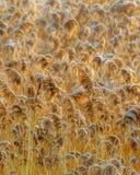 Золотой крупный план тростников стоковые изображения
