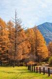 Золотой лес в сезоне осени, Nikko сосны, Япония Стоковая Фотография