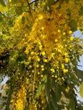 Золотой ливень & x28; Фистула l кассии & x29; цветки под золотым выравниваясь светом стоковые фотографии rf