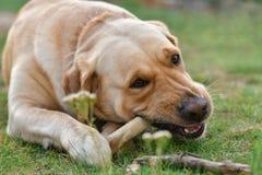 Золотой терьер labrador собаки ест косточку лежа на траве стоковые фото
