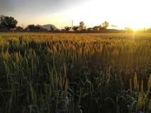 Золотой урожай золото фермеров стоковые фотографии rf