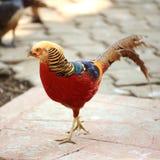 Золотой фазан Стоковое Изображение