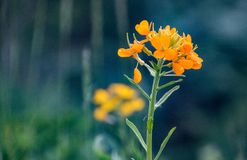 Золотой цветок Гималаев стоковое изображение