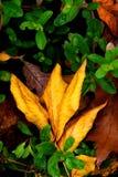 Золотой цвет лист на зеленой вегетации Стоковые Изображения