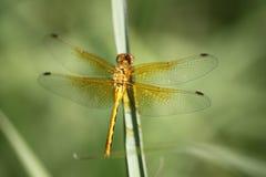Золотой Dragonfly на травинке, центре открытия речного берега Брэндона Стоковое Фото