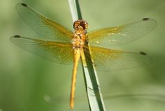 Золотой Dragonfly отдыхая на травинке, центре открытия речного берега Брэндона Стоковые Фото
